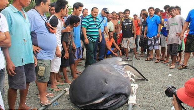 Hiu Ompong Terdampar Di Filipina