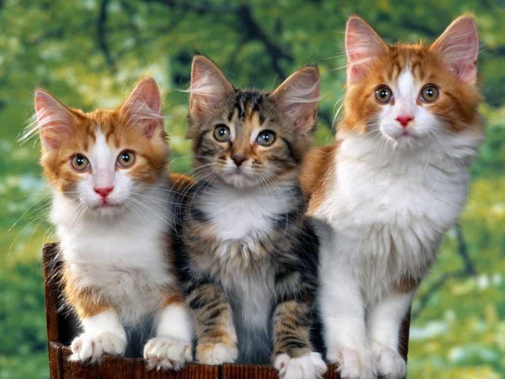jenis-jenis kucing rumahan