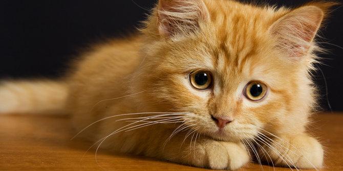 kucing persia rumahan