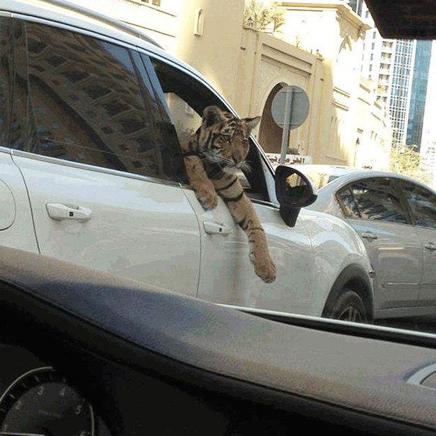 harimau piaraan orang dubai