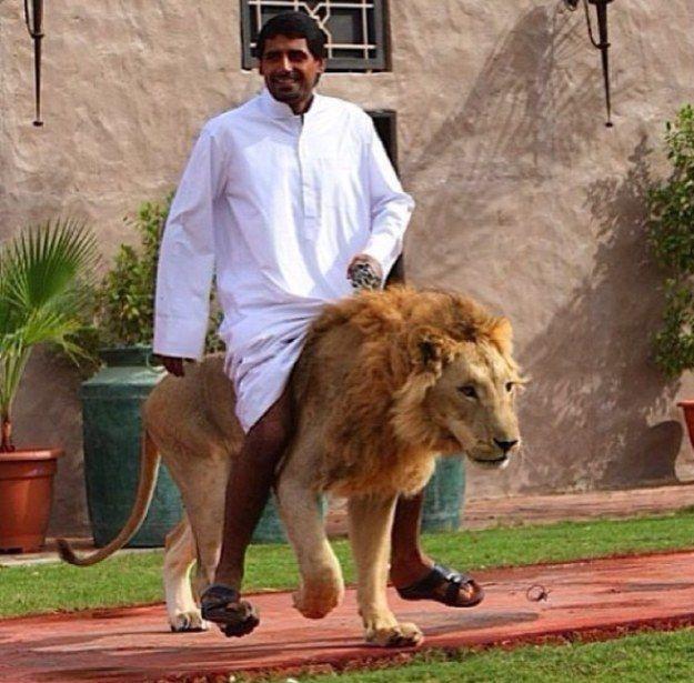 singa pun di pelihara orang dubai